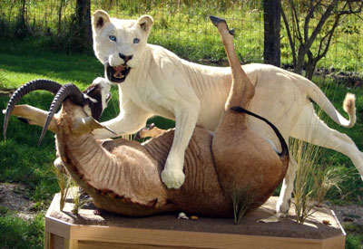 Life Size mount of a female white lion wrestling an antelope