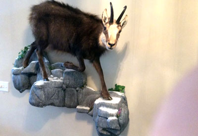 Life size mount of an exotic mountain goat