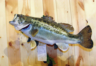 Large Mouth Bass mounted on drift wood