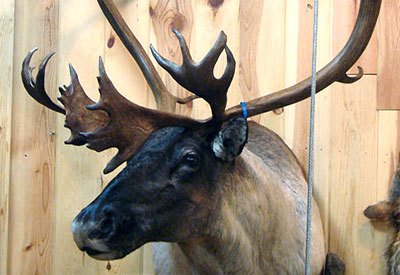 Game Head mount of a large male elk
