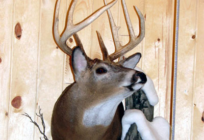 White Tail deer mount