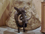 African Animal Mount - Great Bear Taxidermy