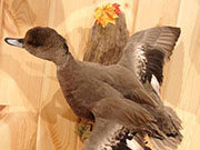 Bird Mount - Great Bear Taxidermy