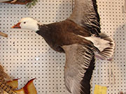 Water Fowl Mount - Great Bear Taxidermy