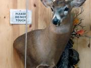 White Tail Deer Mount - Great Bear Taxidermy